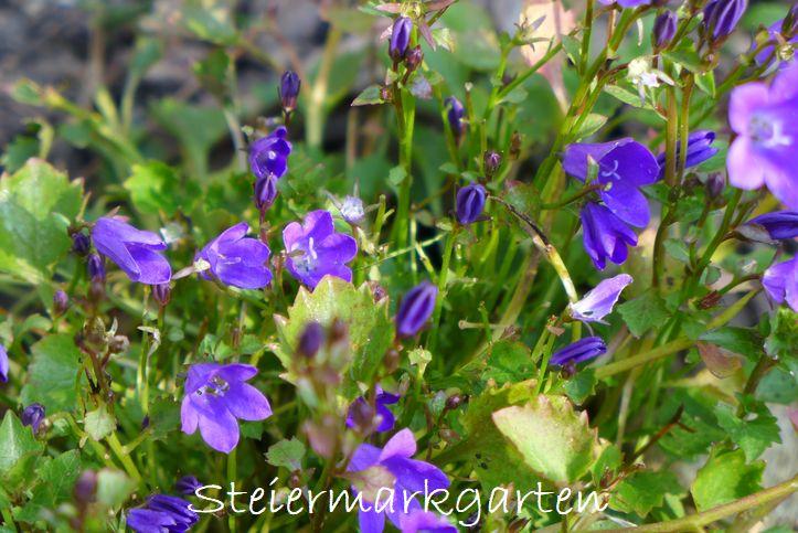 kleinblütige-Glockenblume-Steiermarkgarten
