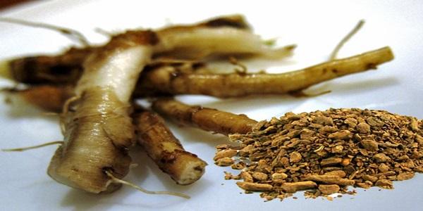 korijen maslačka