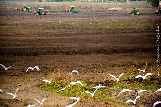 Location: West Bengal, India. The ruddy paddy field lightened up with the white cranes and the tractors in the backdrop. @DoiBedouin
