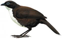 Orthonyx spaldingii