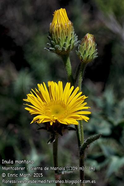 une plante Martin 1er avril trouvée par Jov' Inula%2Bmontana3