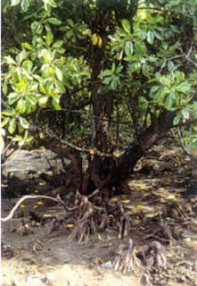 Mengenal Mangrove : Bruguiera cylindrica (L.) Bl.