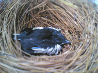 Burung Kacer - Tempat Bersarang yang Ideal Untuk Burung Kacer Penangkaran
