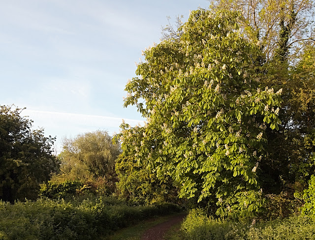Large chestnut in full bloom besides a path