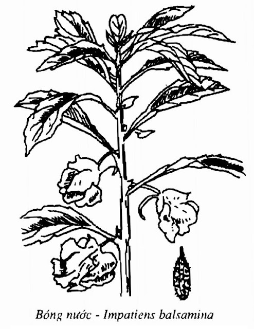 Hình vẽ Bóng Nước - Impatiens balsamina - Nguyên liệu làm thuốc Đắp vết thương Rắn Rết cắn