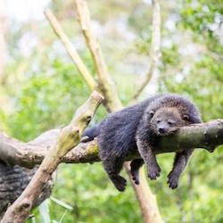 """Binturong Bearcat Sleeping"" by Vichaya Kiatying-Angsulee"
