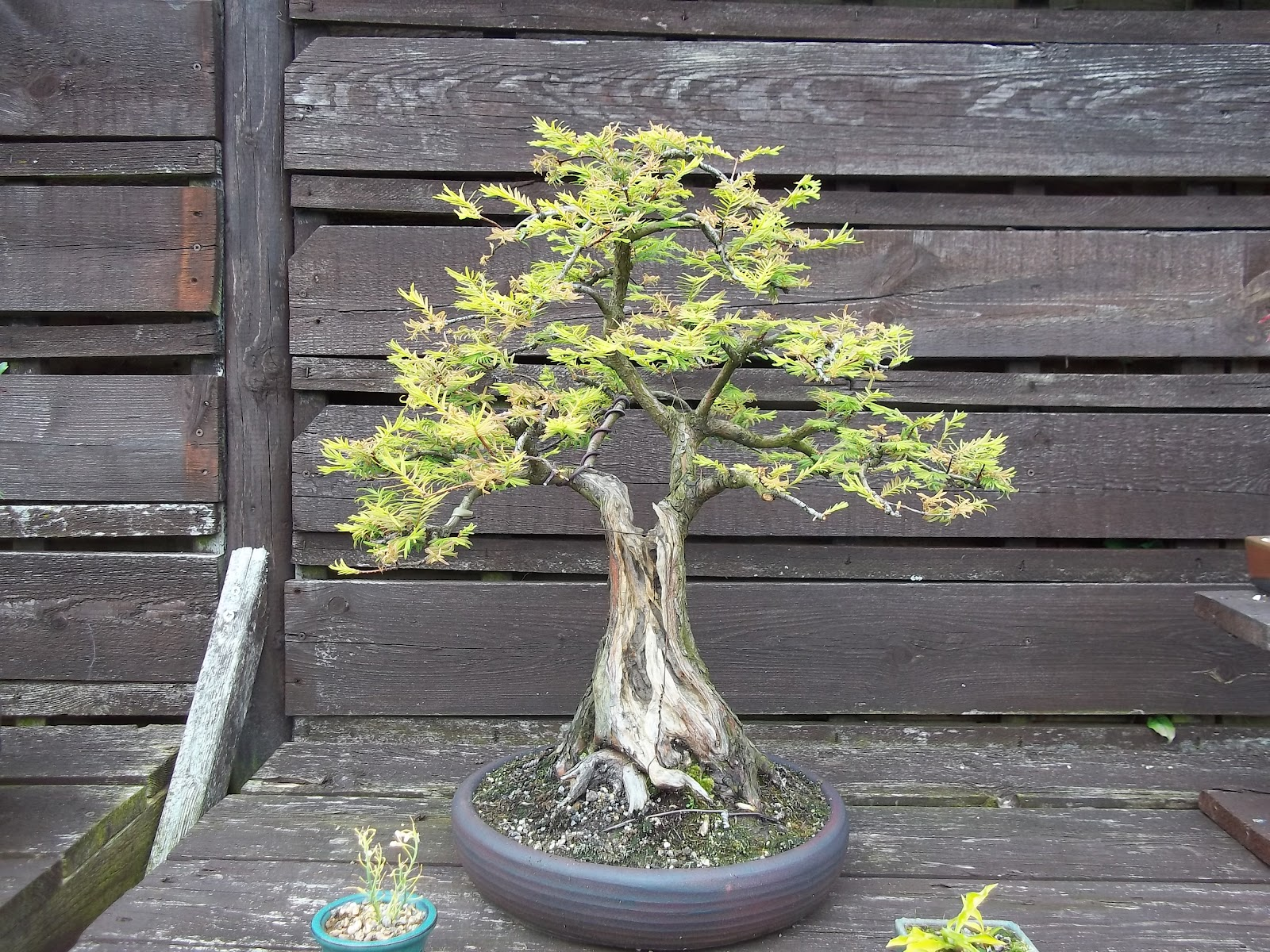 Bonsai Tree 18 Beautiful Dawn Redwood Bonsai Pruning Inspirations