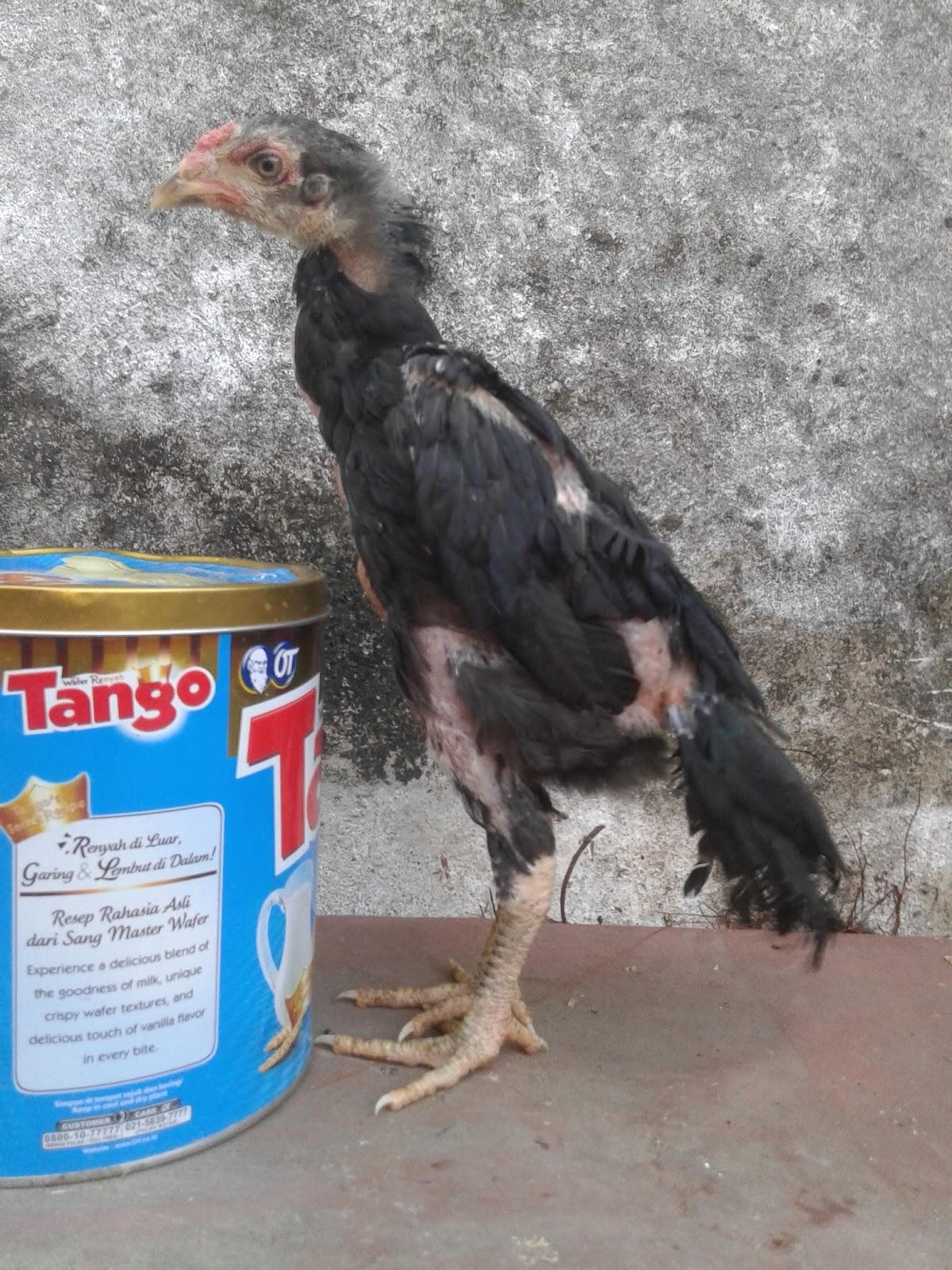 Jual Anak Ayam Bangkok Lamongan ANAKAN BK GALUR MURNI