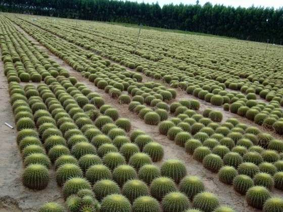 Field grown Echinocactus grusonii in China