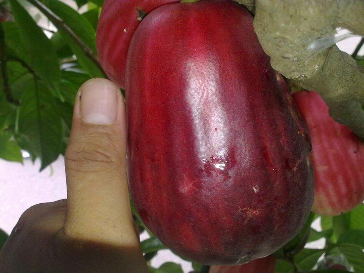 Perlu pohon pelindung agar plum tak lekas mati (2)