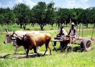 Foto de hombres con toros trabajando en Agricultura orgánica