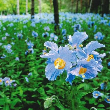 amapola azul del Himalaya (Meconopsis betonicifolia - the Himalayan Blue Poppy)