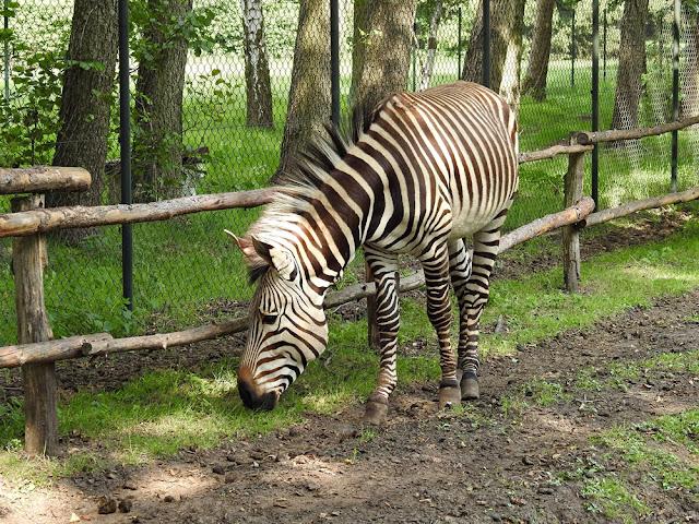 zebra górska Hartmanna jest najmniejszą z zebr