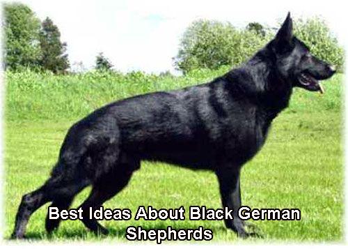 Best Ideas About Black German Shepherds