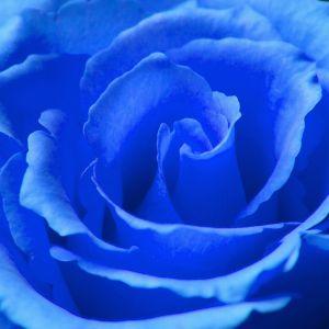warna biru, bunga biru