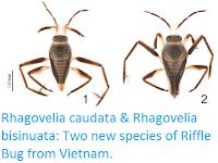 https://sciencythoughts.blogspot.com/2017/01/rhagovelia-caudata-rhagovelia-bisinuata.html