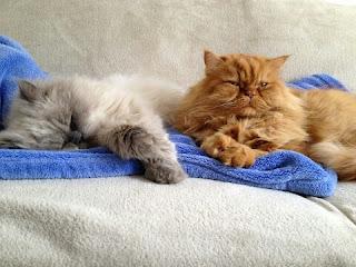 Jenis Kucing Ras Paling Lucu beserta Harga Terbaru, persia peaknose