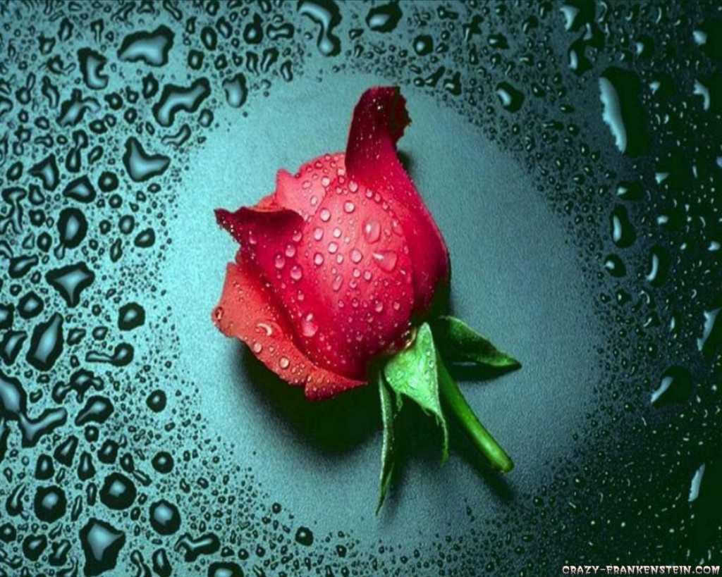 flowers planets hd wallpapers flowers rose