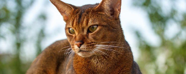 ABYSSINIAN CAT - Best Cat Breeds