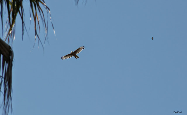 Rapace en vol, Redwood City