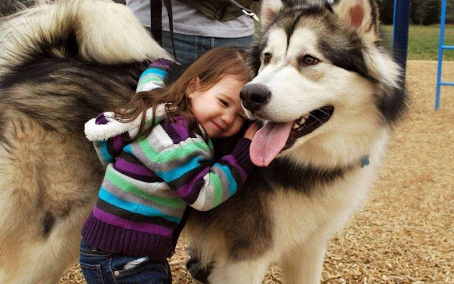 Cute girl and Alaskan Malamute