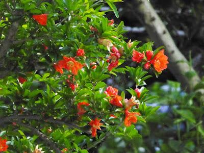 山田池公園 ザクロの花