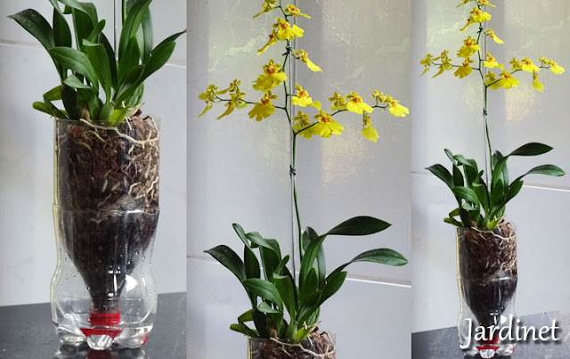 Oncidium no vaso autoirrigável de PET