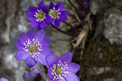 Flowers of Hepatica nobilis.