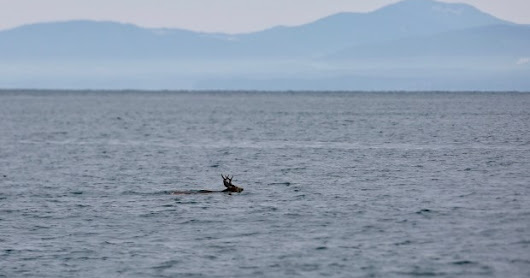 "Are deer a part of the Orca Whales diet?..............In British Columbia, a scene played out where a pod of Orcas encountered a deer in the Ocean off the Province..........While the deer avoided predation, anecdotal evidence of venison-eating orcas dates all the way back to 1961 when Canadian fishery officers reportedly observed a predation near Jackson Bay on the central coast""................ ""And according to National Marine Mammal Laboratory biologist Marilyn Dahlheim, who has published a book on the killer whales of Southeast Alaska, a pod near Gustavus managed to take down a cow moose and her calf in 2010"""