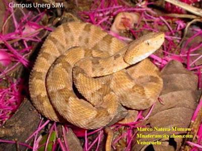 terciopelo Snake