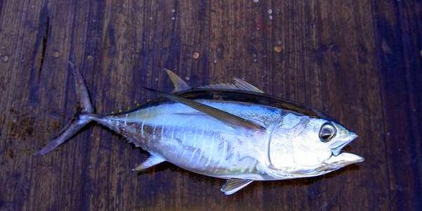 body ganteng tuna