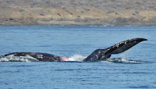 Eschrichtius robustus, Gray Whale