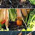 How to Harvest Carrots #vegetable_gardening