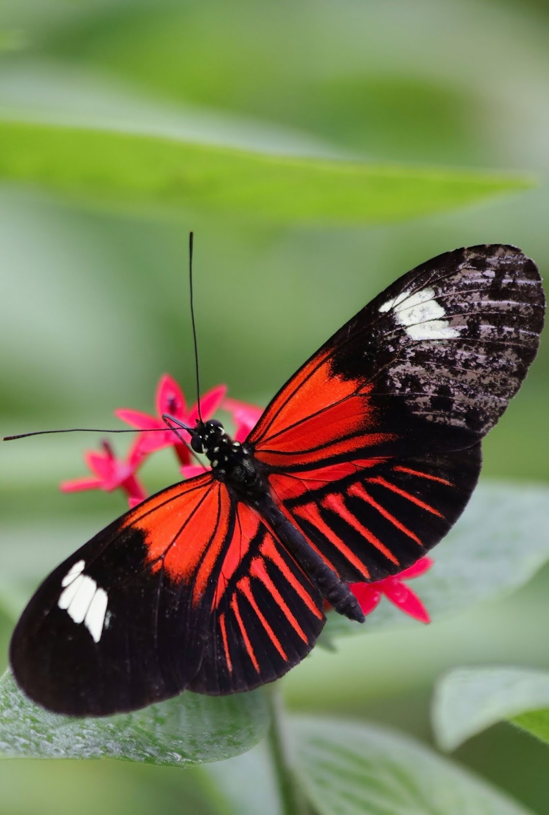 Picture of a postman butterfly.