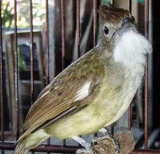 Burung Cucak Jenggot Cocok Dijadikan Master Burung Cucak Jenggot Cocok Dijadikan Master Untuk Semua Burung Kicauan