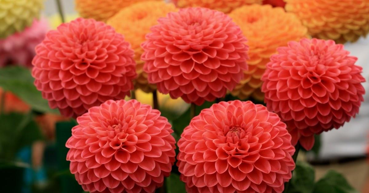 Top Baru 34 Gambar Bunga Dahlia