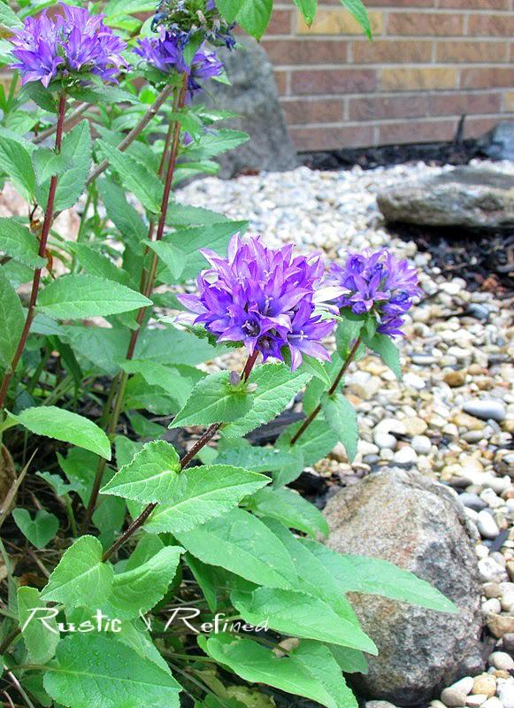 Purple Bell Flower