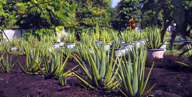 Aloe Vera Center