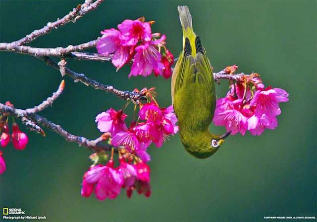 birds, cherry-blossoms, Okinawa, Spring, nature