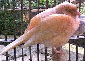 Ciri Burung Yang Sakit Yang Bisa Diamati CIRI-CIRI BURUNG YANG SAKIT YANG BISA DIAMATI