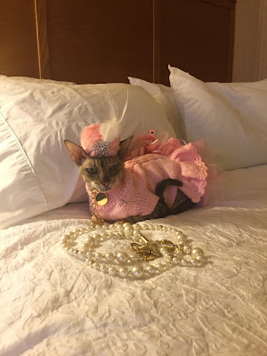 Coco, the Couture Cat, is Pretty in Pink, Cornish Rex