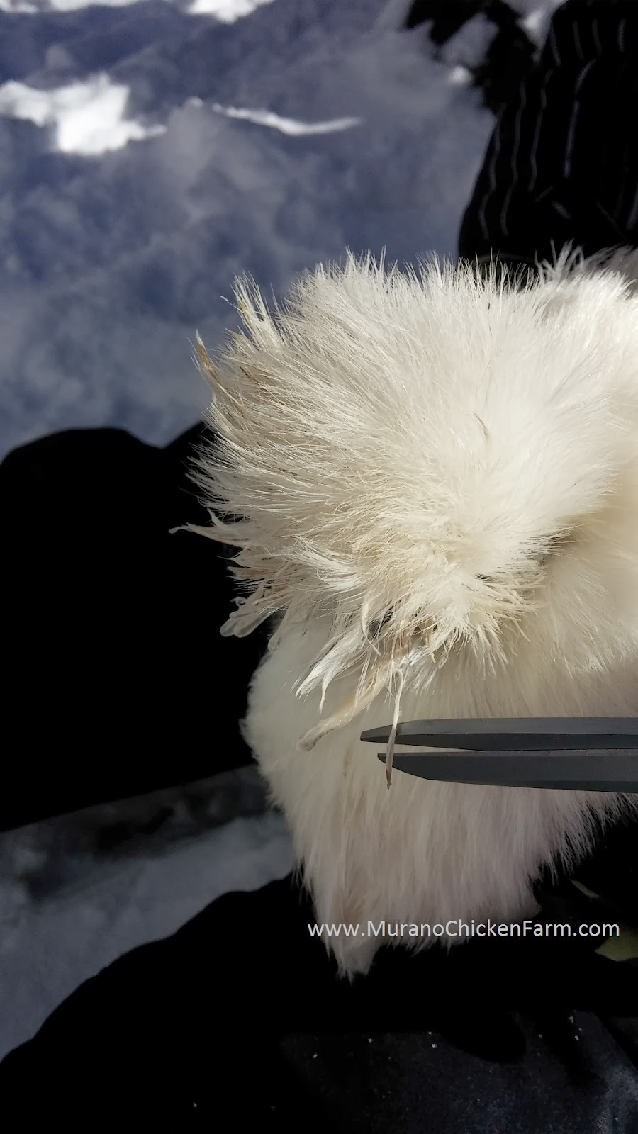 frozen silkie chicken hair