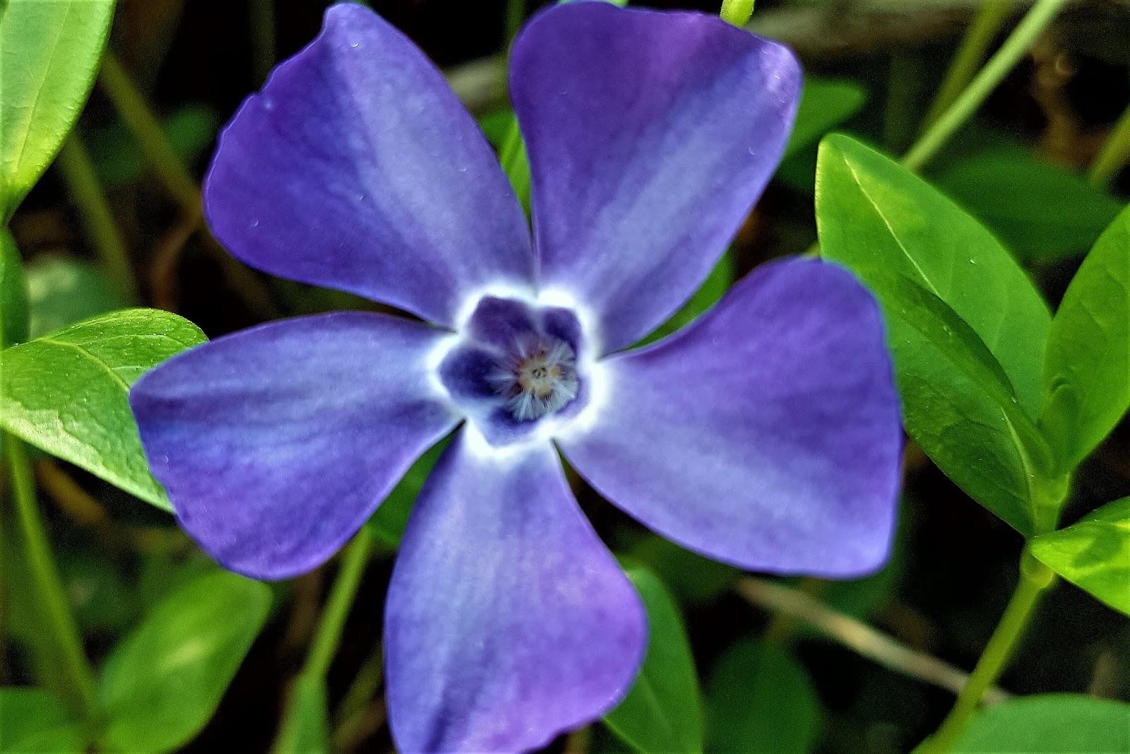 Fiori Di Colore Viola Nomi.Pervinca Il Fiore Dell Amore E Della Morte