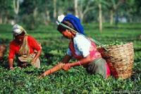 Повсеместно разводить чай начали в первой половине XIX века