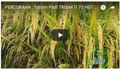 Vidio : Tanaman Padi TRISAKTI di Sawah Rawa - 75 HST Panen