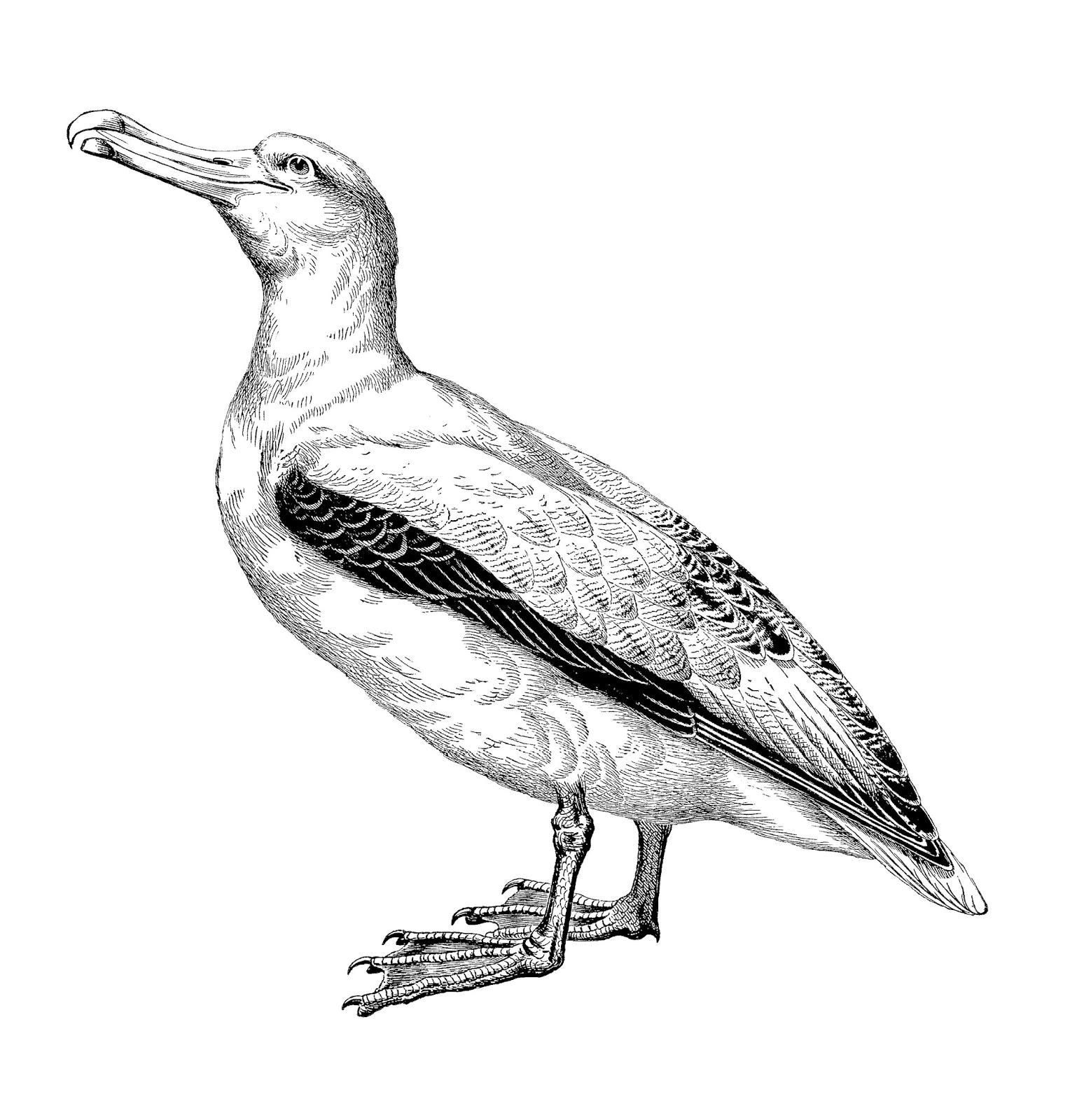 Digital Stamp Design Bird Clip Art Antique Animal