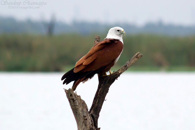 Brahminy Kite (Oct 2018)