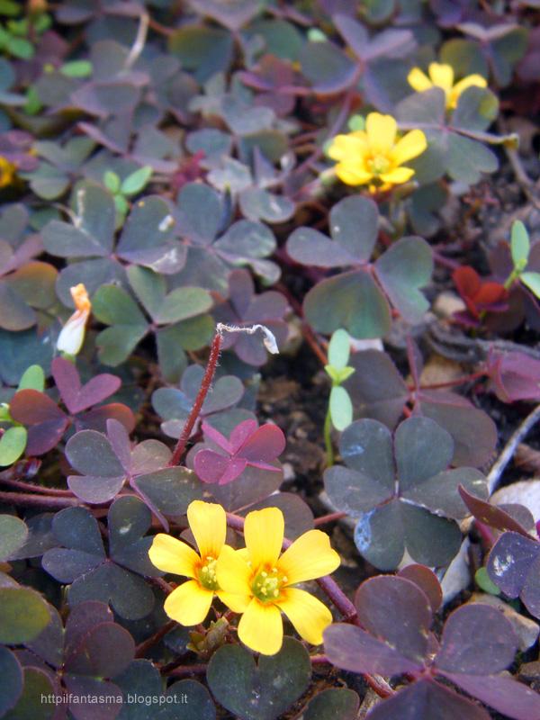 Dichondra o non dichondra Soleirolia soleirolii e Oxalis