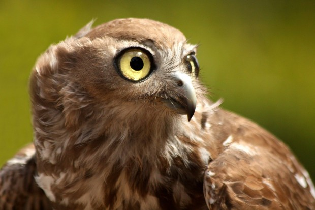 Rufous owl - photo#55