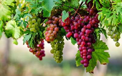 биоактивните вещества в гроздовите семки